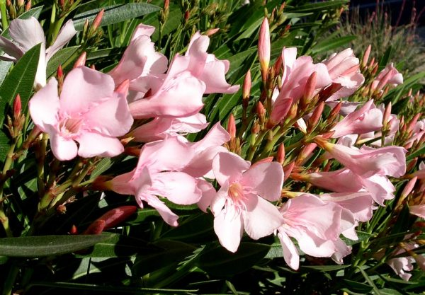 "Nerium Oleander ""Charles Murcott"""