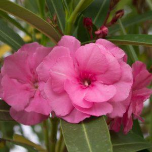 "Nerium Oleander ""Splendens Double Pink"""