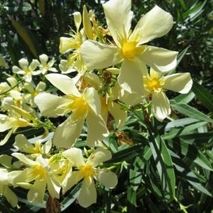 "Nerium Oleander ""Turners Shari D"""