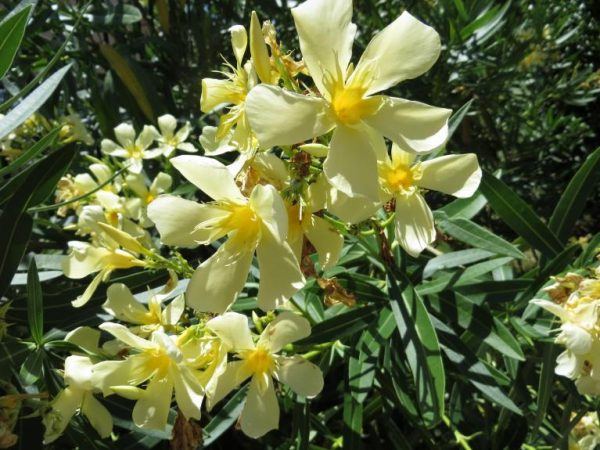 """Nerium Oleander """"Turners Shari D"""""""