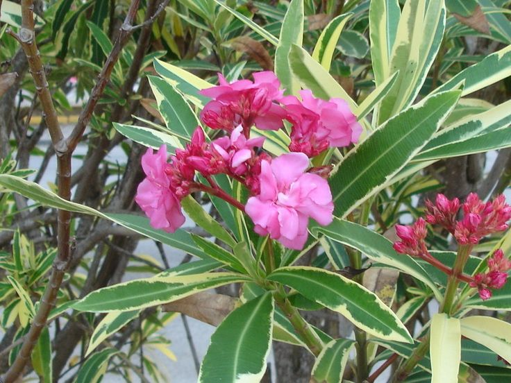 Nerium Oleander Double Variegated Pink