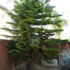 Norfolk Pine New Zealand Xmas Tree