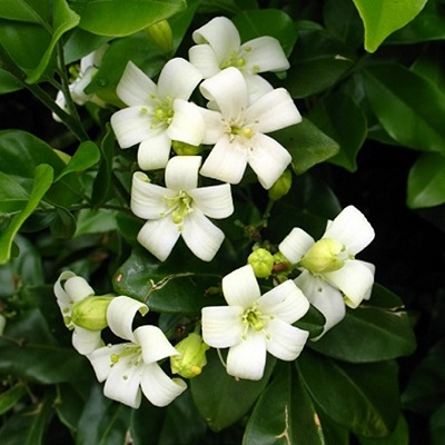 Murraya Paniculata Mock Orange