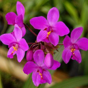 Spatholottis Plicata (Philippine Ground Orchid)