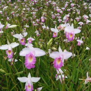 Arudina Graminifolia (Bamboo Orchid)