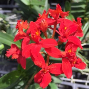 Epidendrum Dark red