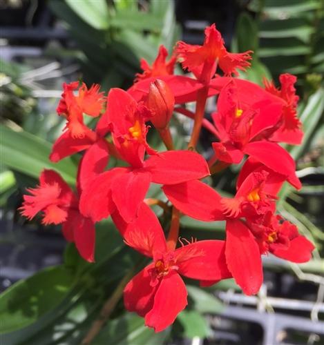 Epidendrum Dark red
