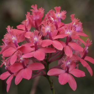 Epidendrum Watermelon pink