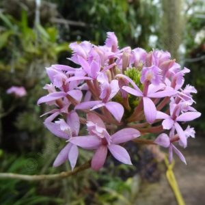 Epidendrum Light Purple