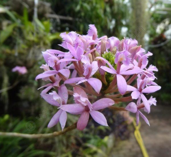 Epidendrum Light Purple