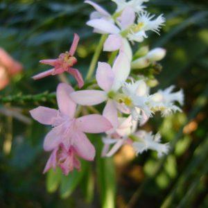Epidendrum White- Pink