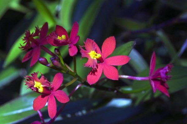Epidendrum Maroon