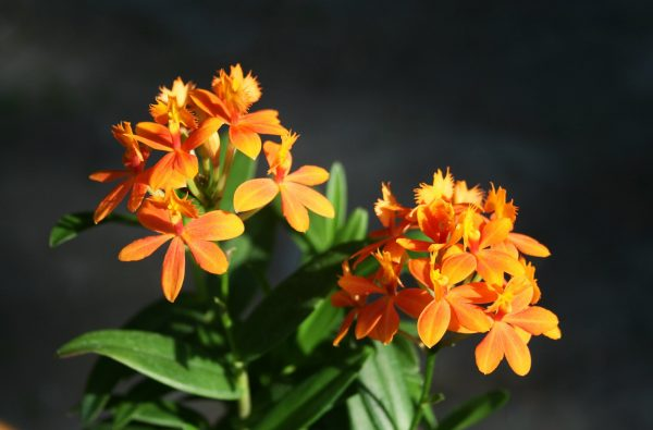 Epidendrum Orange