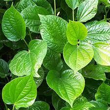 Piper Betle Leaf (Pan)