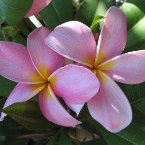 Tomlinson Pink