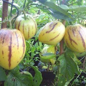 Solanum Muricatum Pepino Dulce