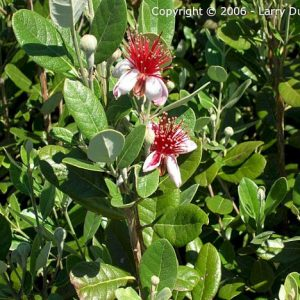 Pineapple Guava Feijoa Sellowiana