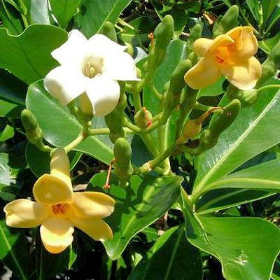 Fagraea Berteriana Pua Keni Keni Perfume Flower Tree