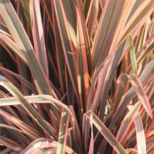 Phormium sp. Rainbow Queen