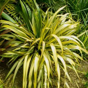 Phormium sp. Yellow Wave