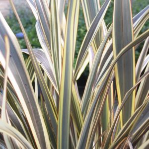 Phormium sp.  Allison Blackman