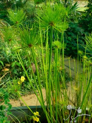Cyperus Papyrus Egyptian Water Plant