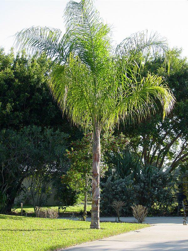 Cocos Arecastrum Romanzoffianum Queen Palm
