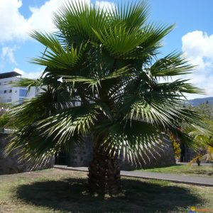 Washingtonia Robusta California Fan Palm
