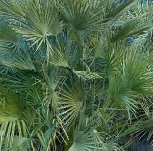 Chamaerops Humilis Mediterranean Fan Palm