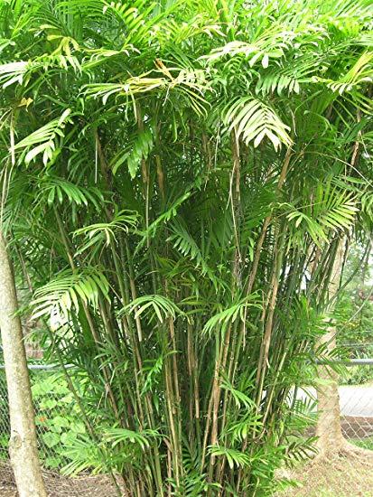 Chamadorea Siefrizii Bamboo Palm