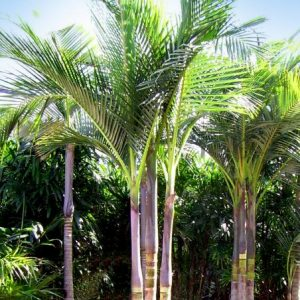 Archontophoenix Alexandrae King Palm