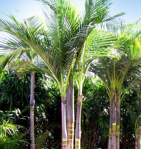 Archontophoenix Alexandrae King Palm - Aloha Tropicals
