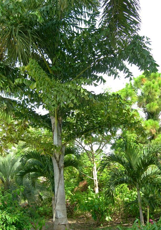 Carota Urens Fish Tail Palm