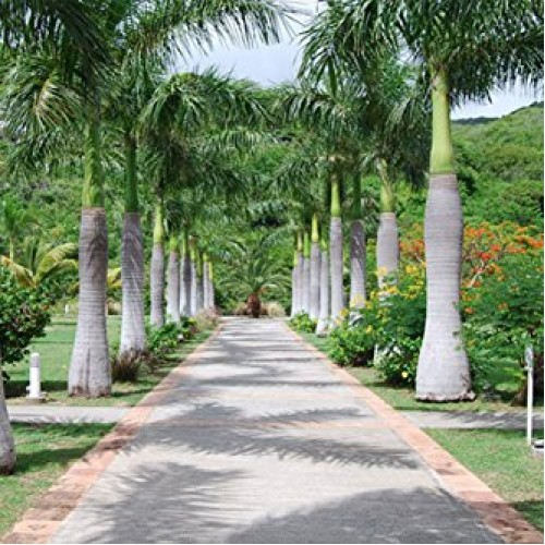 Roystonea Regia  Royal Palm