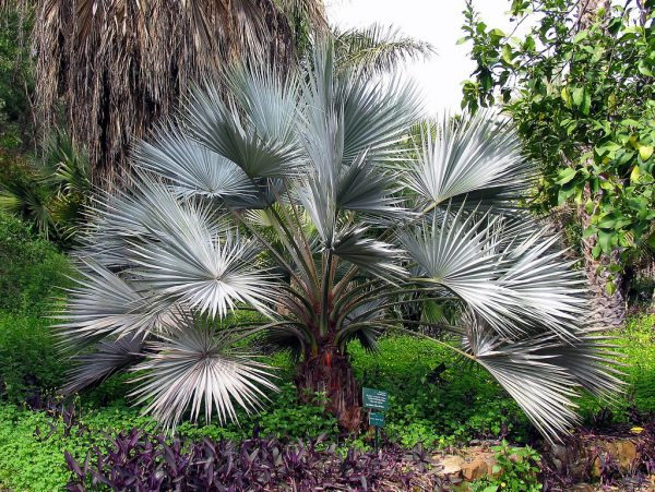 Brahea Armata Mexican Blue Palm