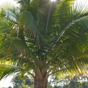 Ravenea Rivularis Majesty Palm