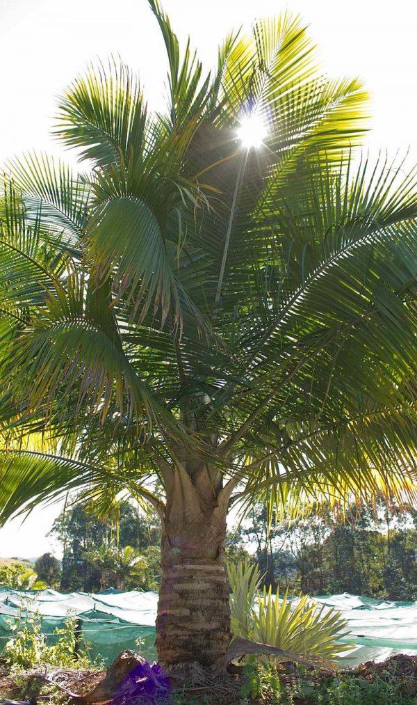 Ravenea Rivularis Majesty Palm