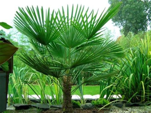 Tracycarpus Fortunei Windmill Palm