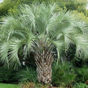 Butia Capitata Jelly Palm