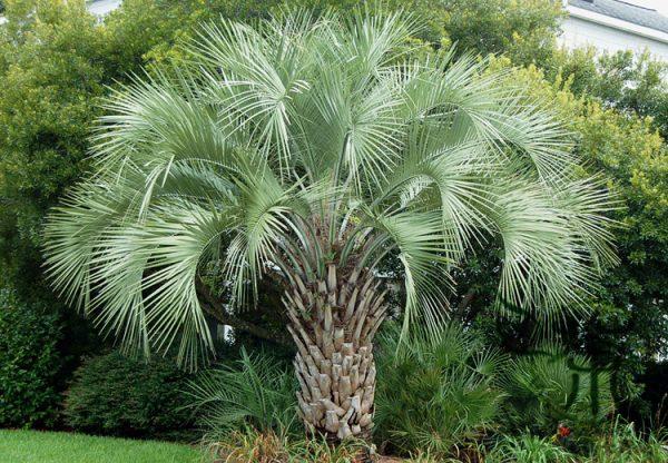Butia Capitata Jelly Palm