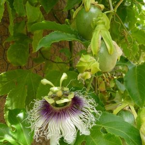 Passiflora Edulis Fredrick Granadilla Passion Fruit