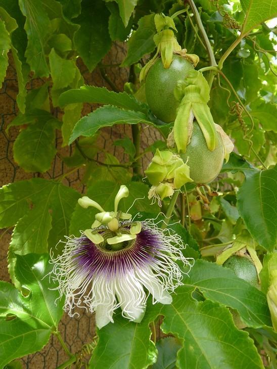 Passiflora Edulis Fredrick Granadilla Passion Fruit