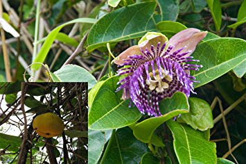 Passiflora Laurifolia Yellow Water Lemon