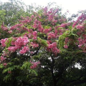 Cassia Javanica Pink & White Shower Tree