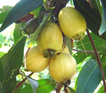 Rose Apple Syzygium Jambos