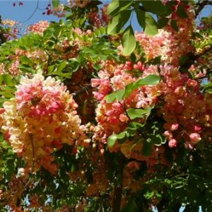 Cassia Xnealae Rainbow Shower Tree
