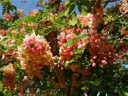 Cassia Xnealae Rainbow Shower Tree