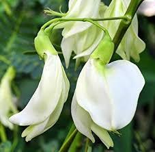 Sesbania Grandiflora Alba