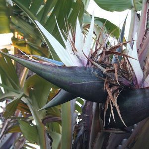 Strelitzia Nicolai Giant Bird of Paradise