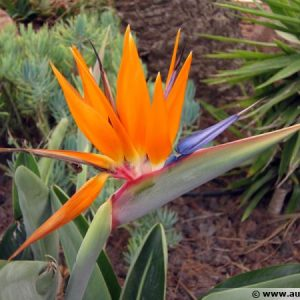 Strelitizia Reginae Bird of Paradise